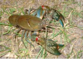 Yabbies in the Pond