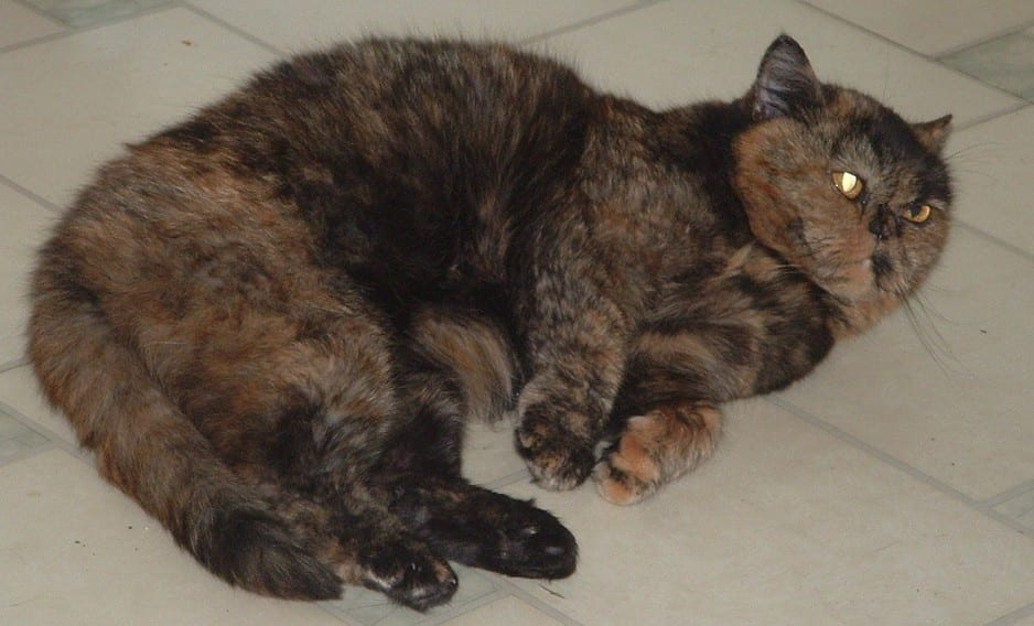 Seki Cattery Pic 1 - FOR ADOPTION Blossum is a Tortie Shorthaired Persion
