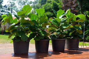 Greenery - The Garden Nursery Pic 5 - Lovely Lyrata aka Funky Fiddle Leaf Figs