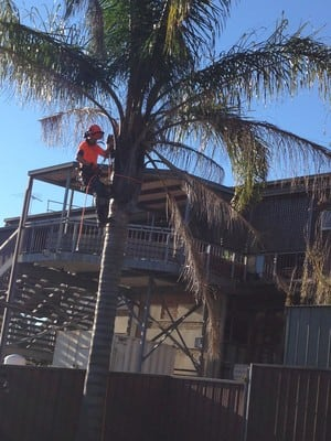 Shire Gardening Pic 3 - Arborist Cert Taking down a palm