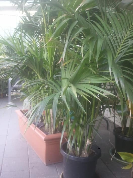 Indoor and Shade Plants and Palms Pic 1 - Kentia Palms from 10 to 50