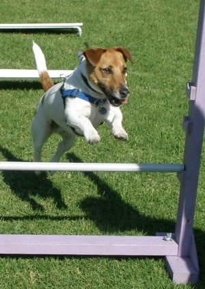 Paw Behaviour Dog Training Pic 2 - Agility for Fun