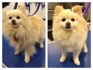 Modern Dog Grooming Pic 2 - Milly before and after her full groom