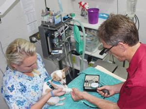 Berry Haven Veterinary Group Pic 5 - Rebecca and Mark recording a dogs blood pressure