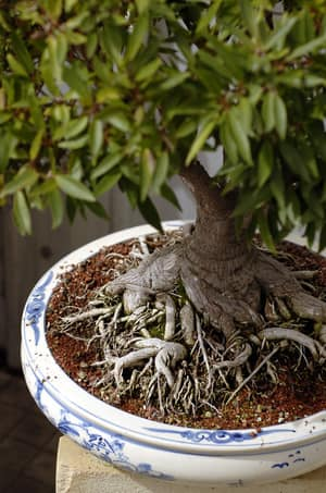 Aquaponics WA Pic 4 - Bonsai in expanded clay